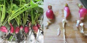 radish two pics